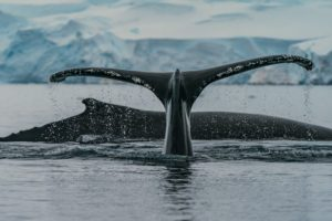 Antarctica whale tail