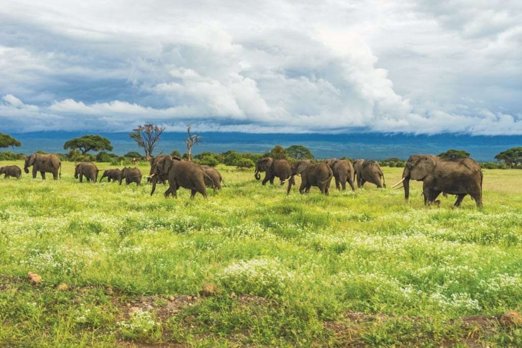 Herd of elephants grazing on the lush plains of Mount Kilimanjaro on a cloudy day