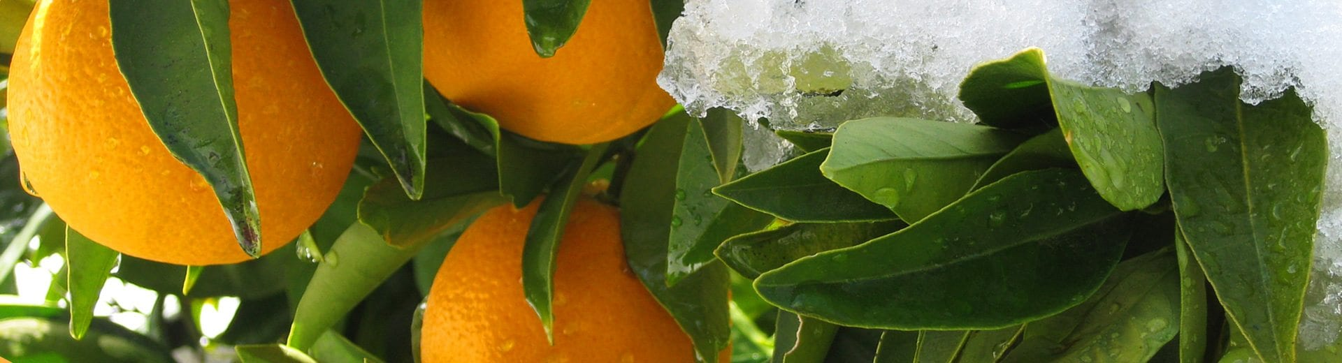Give a Delicious Gift and Enjoy our Winter Citrus all Year Long